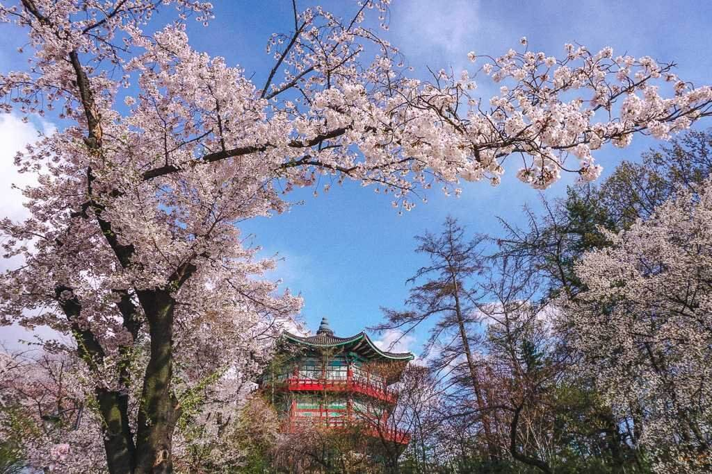 One of the best spots to see cherry blossoms is Seoul Children's Park