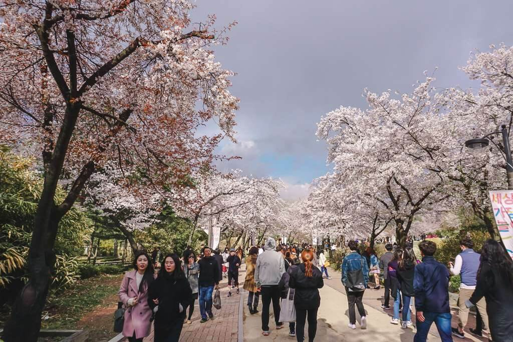 When to see cherry blossoms in Seoul